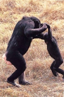 Image of an adult bonobo holding hands and 'dancing' with a juvenile bonobo