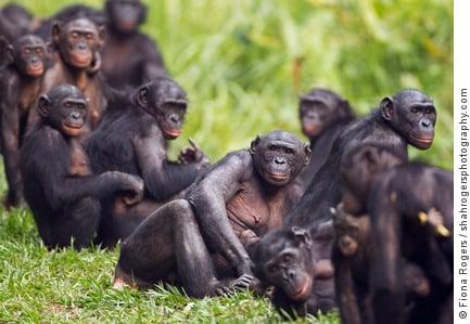 A group of bonobos at the Lola Ya Bonobo Sanctuary, Democratic Republic of Congo