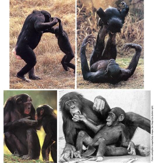 Bonobos prenant soin de leurs enfants