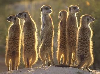 Image of meerkats