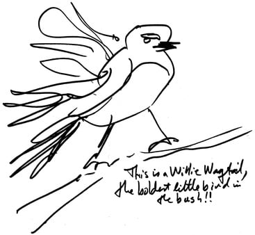Drawing by Jeremy Griffith of a willy wagtail bird