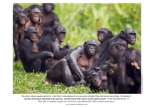 Bonobo group sitting on grass